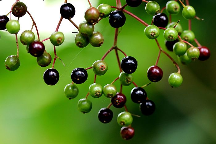 Fruit Green Color Close-up Berry Fruit Nature Plant Focus On Foreground Full Frame Plant Part No People Freshness Hanging Growth