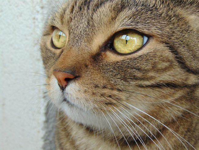 кот котэ няша лапа пупсик усатик шотландец глаза  красота Природа Cat Cats Eyes Animals Folowme