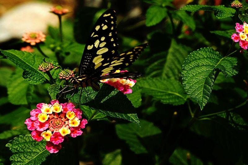 Butterfly on lantana camara at park