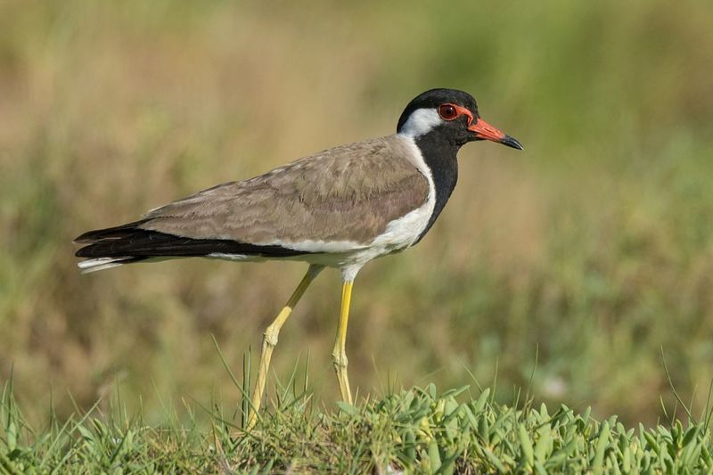 Red-wattled Lapwing Bird Animal Wildlife Animals In The Wild No People Grass One Animal Beak Outdoors Day Animal Themes Nature Close-up Sunny Birds🐦⛅ Beauty In Nature Beak Nature Animal Portrait Grass Feather  Bird Photos