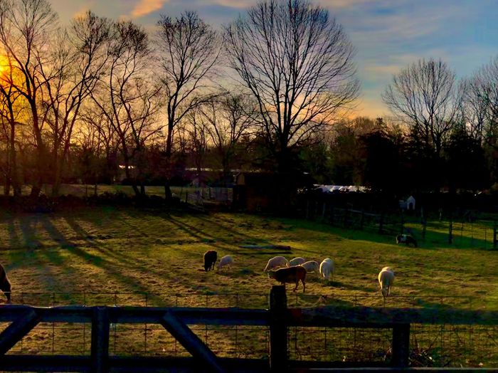 Rural Sunrise Farm Fence Bare Branches Grazing Sheep Golden Hour Horizon Morning Light Early Spring Springtime Trees Trees And Sky Rural Scenes New England  Massachusetts Outdoors Tranquil Scene Solitude Peaceful Nature Sunlight Rural Landscape Rural America Pasture Farm Animals Livestock Farm Life Sunrise No People The Architect - 2018 EyeEm Awards