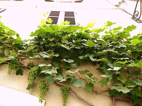 Italy🇮🇹 Barolo City Winegrapes Green Grapes Growing On Wall Old Buildings Nature On Your Doorstep Taking You On My Journey 😎 Colour Of Life Street Photography Natural Beauty Fine Art Photograhy Fine Art No People Wine Country Color Palette Looking Up Summer ☀ Wine Glass Wine Tasting Architectural Detail