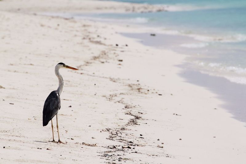 Gray heron at beach