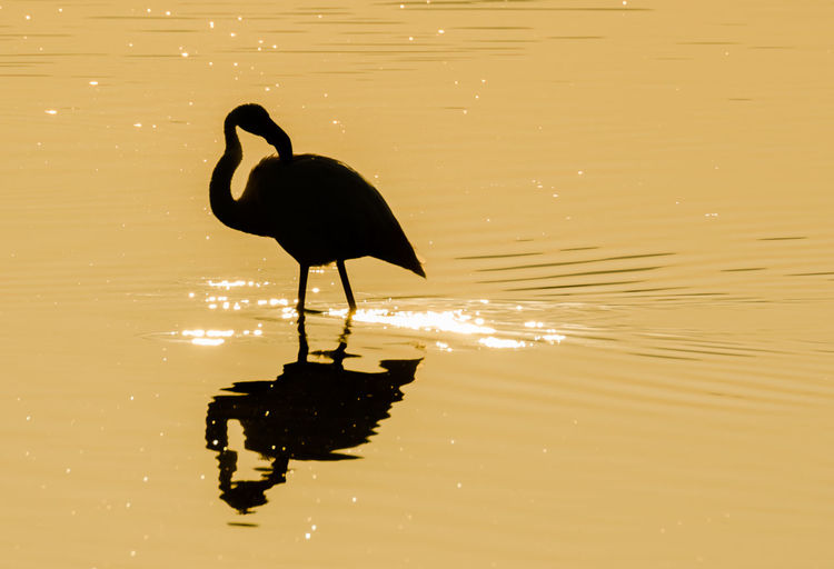 Silhouette flamingo in lake during sunset