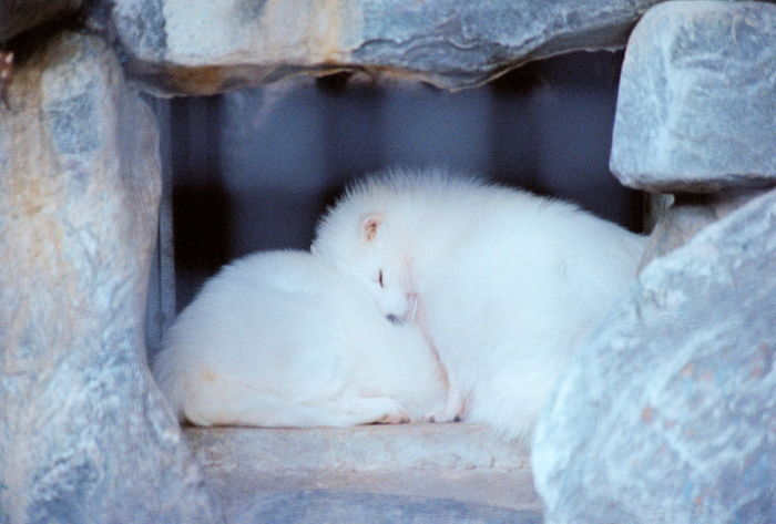 what? white raccoon? Zoo 35mm Film Nikon FE Animals