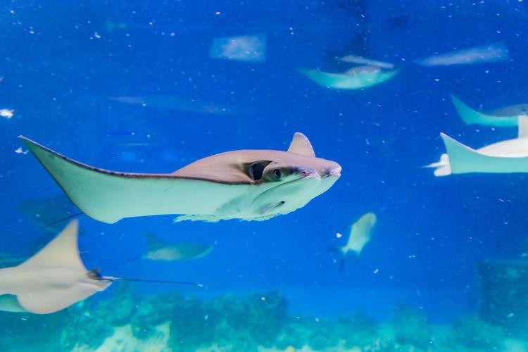 Closeup of many stingrays through aquarium window