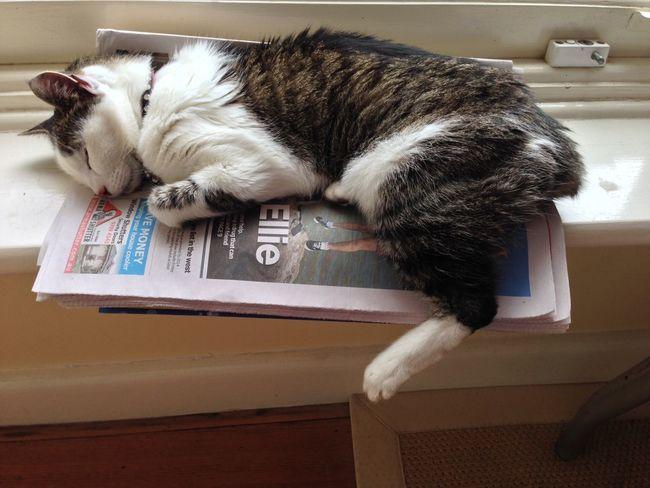 Sleeping Cat Sleepy Kitty Manx Cat On Newspaper Manx Cat Cat