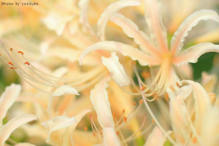 彼岸花ってアップで撮ると花火みたい🎇🎇🎇(๑´ω`๑)♡ Enjoying Life Nature_collection Autumn Streamzoofamily EyeEm Nature Lover Flowers EyeEm Flower 彼岸花 曼殊沙華