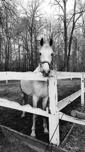 Blackandwhite Horse Looking At Camera
