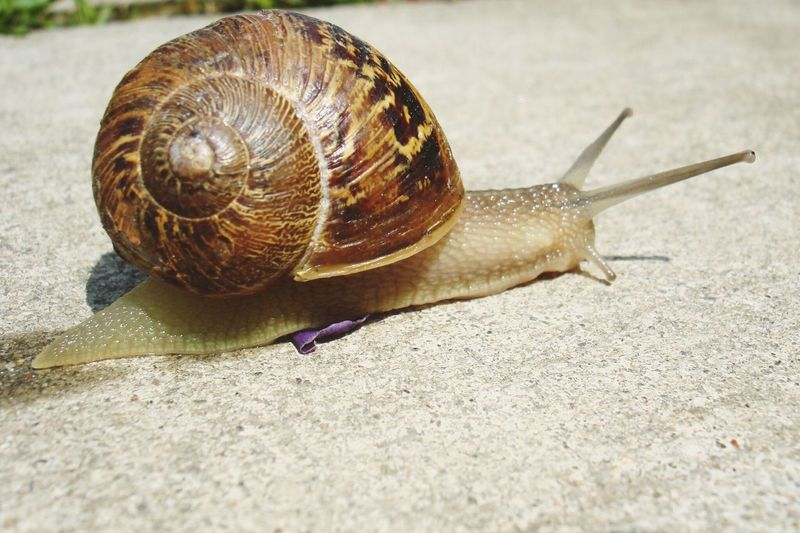 Snail One Animal Animal Themes Wildlife Close-up Gastropod Animals In The Wild Nature No People Outdoors Day Slimy Springtime Snail🐌 Slow And Steady Wins The Race