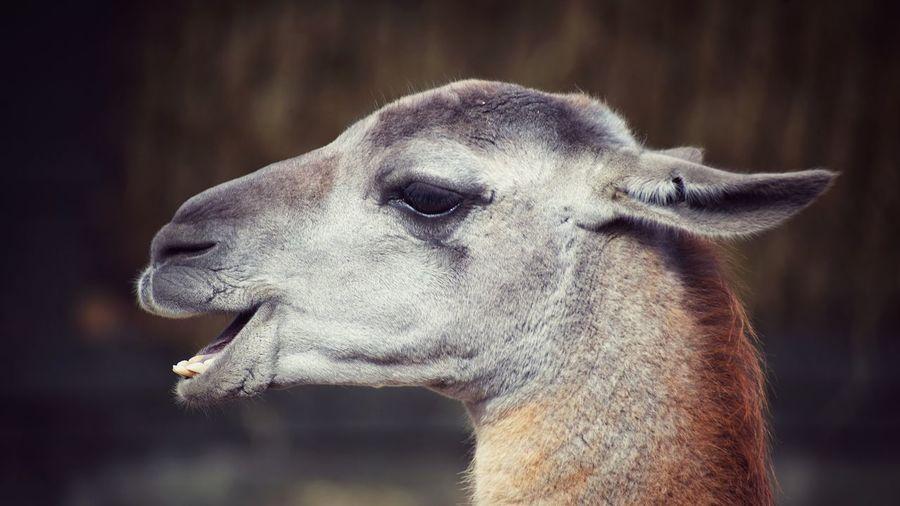 Close-up of llama