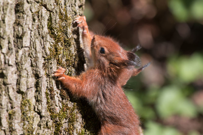 Close-up of red squirrel climbing up tree