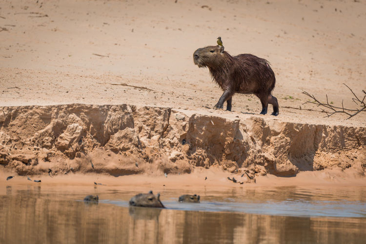 Capybara walking on shore