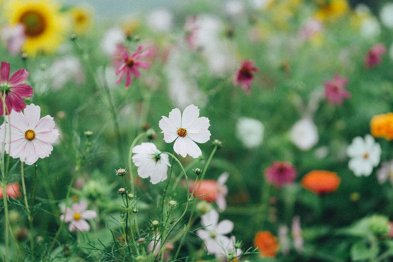 Nature Nature Photography Beauty In Nature Blooming Close-up Cosmos Flower Day Field Flower Flower Head Flowers Fragility Freshness Growth Nature Nature_collection No People Outdoors Petal Plant Summer