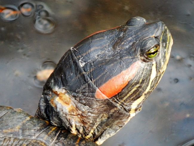 Animal Themes Animals In The Wild Close-up Day High Angle View Nature No People One Animal Outdoors Painted Turtle Tortoise Shell Turtle The Portraitist - 2017 EyeEm Awards