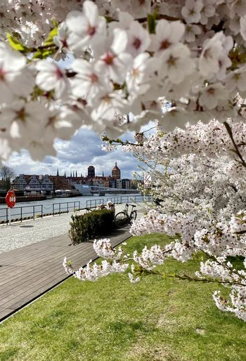 Cherry blossom by river in city