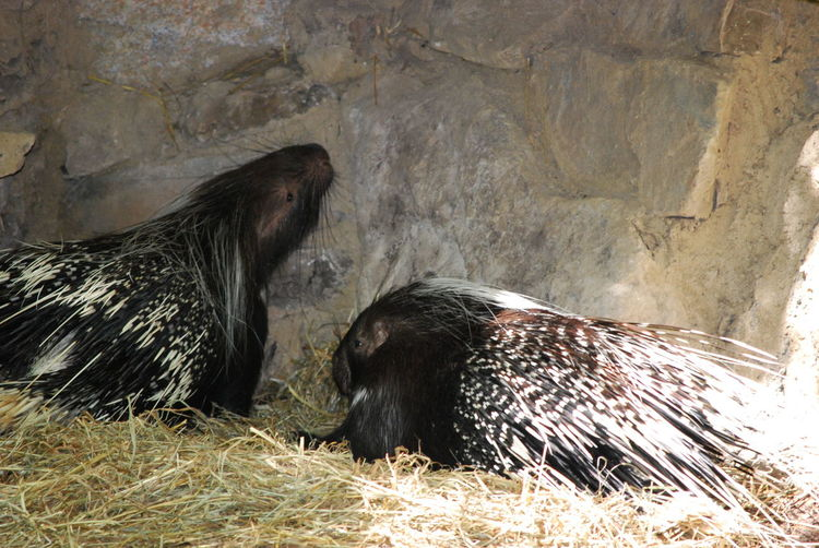 Animal Themes Animal Wildlife Beauty In Nature Day Mammal Nature No People Outdoors Porcupine Porcupine Curiousity