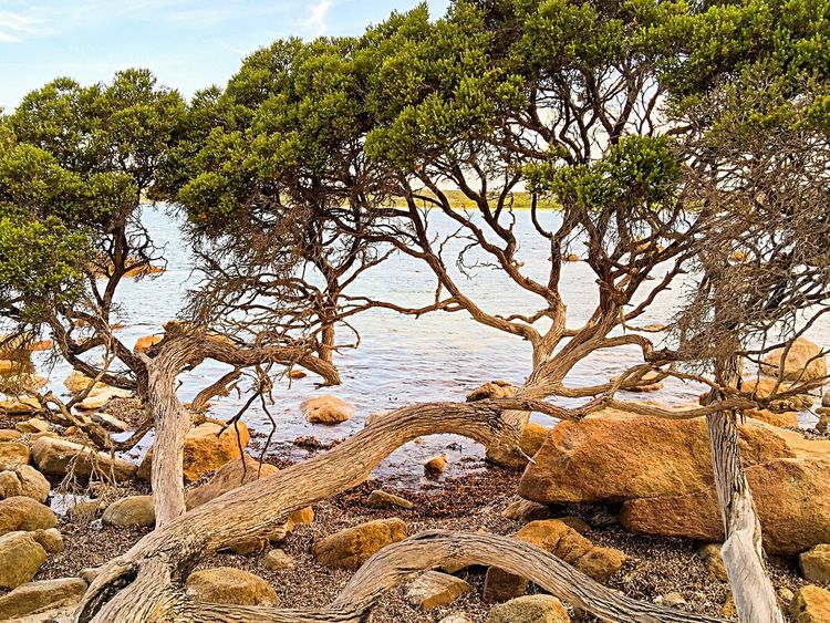Twisted Trees at Bunker Bay Coast Line  Australia Bunker Bay Western Australia Nature Coastal Australia & Travel Secluded Beach Indian Ocean Ocean Water Sea Beach Bay Ocean View Trees Coastal Tree Twisted Tree Trees On Beach Green Leaves