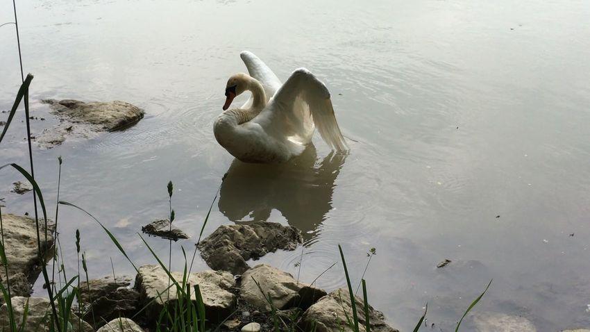 Swans Of Eyeem Swantastic Swan Series Swans ❤ Swans Swan Schwanenfamilie Schwäne Schwan