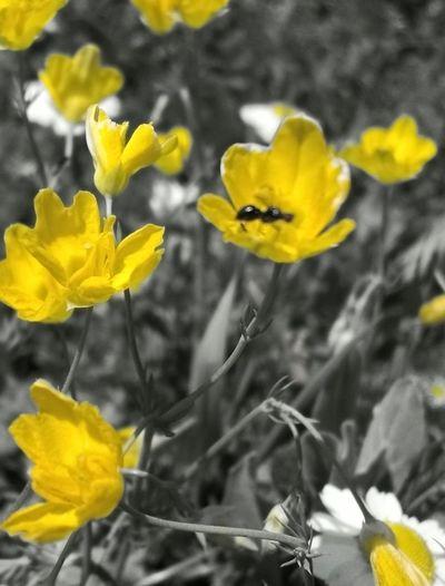 Termite Yellow