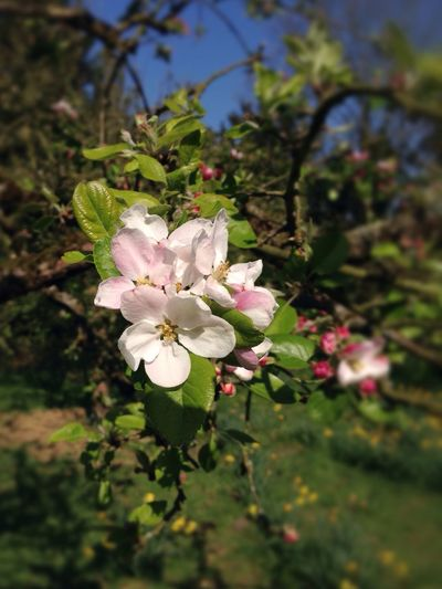 Apple Blossom Flower Growth Nature Beauty In Nature Close-up Blossom Blooming