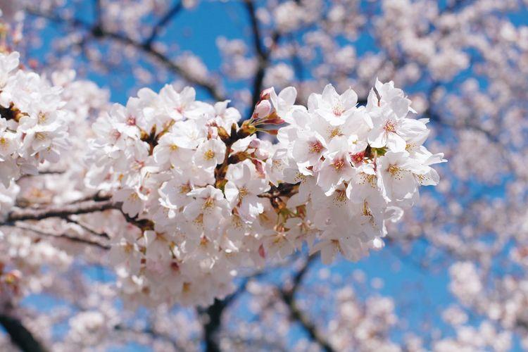 桜🌸 Flower