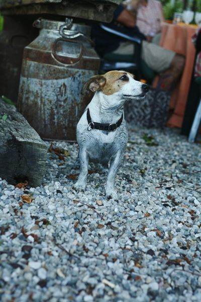 Animal Themes Pets One Animal No People Mammal Outdoors Day Jackrussell Patchy Jackrussellterrier Dog Nature Domestic Animals Dirty
