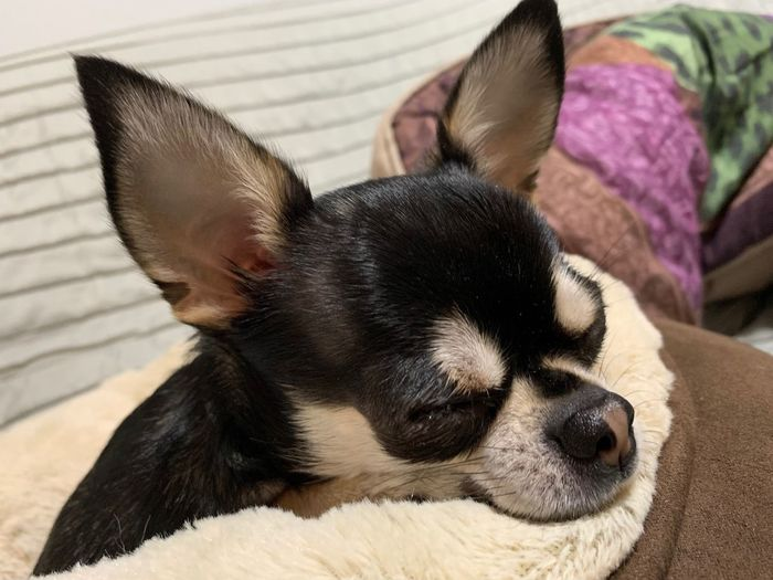 Chihuahua spesso Chihuhua One Animal Mammal Domestic Domestic Animals Animal Themes Pets Animal Dog Canine Vertebrate Relaxation Sleeping Lying Down Furniture Young Animal Focus On Foreground Resting Indoors  Close-up No People