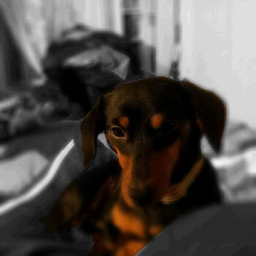 Dog Pets No People Dashound Doxies Domestic Animals Dachshund Doxie Loving Moments Lying Down Doxiefever Doxieforlife Doxie Dachshunds