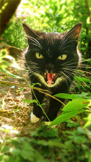 """""""Keep that distance, human!"""" Katze Frontal Katze Im Gruenen Cat Cat Approaching Close-up Day Domestic Cat Fauchende Katze Feline Green & Sunny Green Leaves Hissing Cat Katze Looking At Camera Nature One Animal Open Mouth Outdoors Schwarzweißes Fell Showing Teeth Too Close Encounter"""