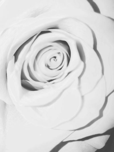 Relaxing Tranquility Beauty In Nature Close-up No People Outdoors Girl Boss The Great Outdoors - 2017 EyeEm Awards Nature Springtime Spring Flowers Rose🌹 Rose - Flower Rose♥ Blackandwhite Blackandwhite Photography Beautiful Nature Photography Flowers 🌸🌸🌸 Flowers, Nature And Beauty
