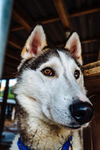 Close-Up Of Husky Looking Away