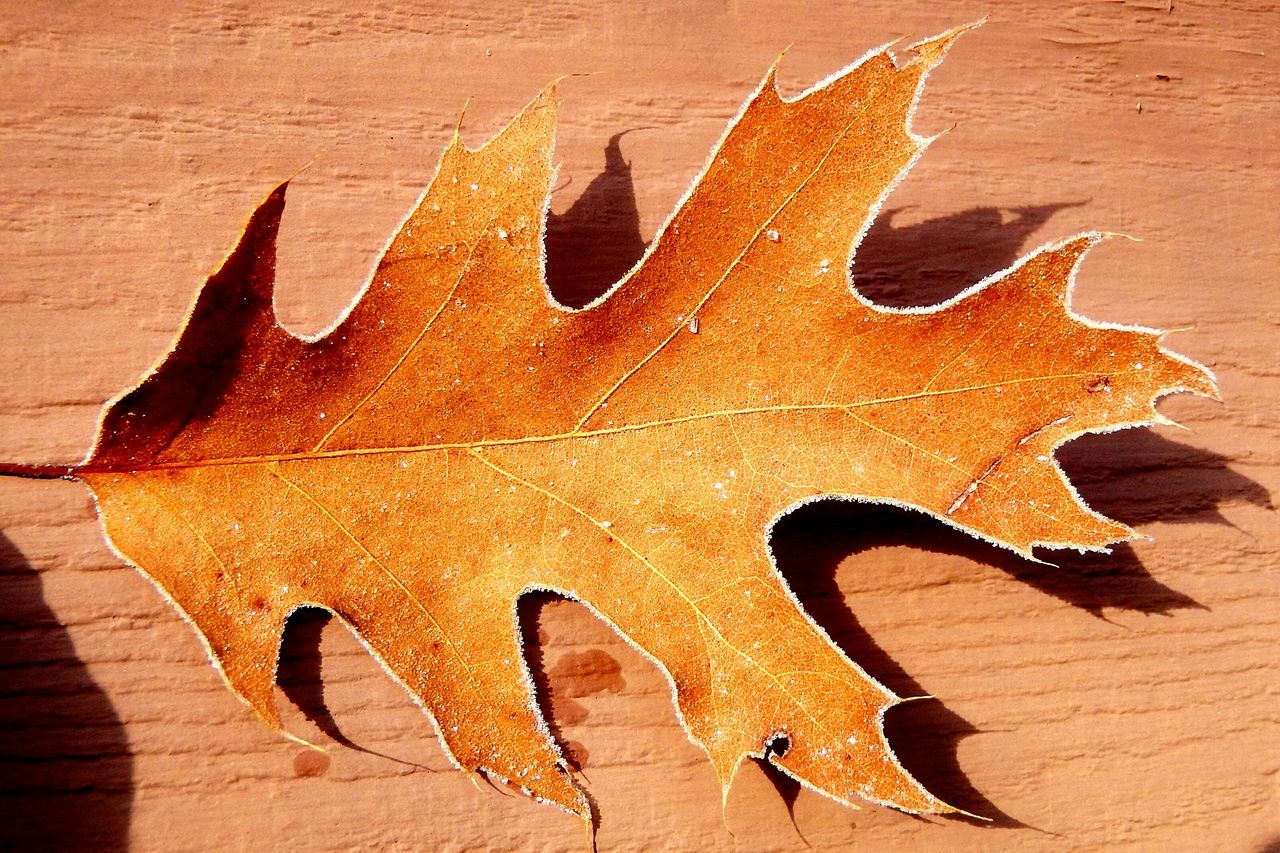 Close-Up Of Orange Autumn Leaf During Winter On Sunny Day