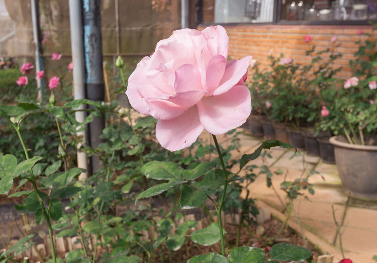 Close-up of pink rose flower in pot