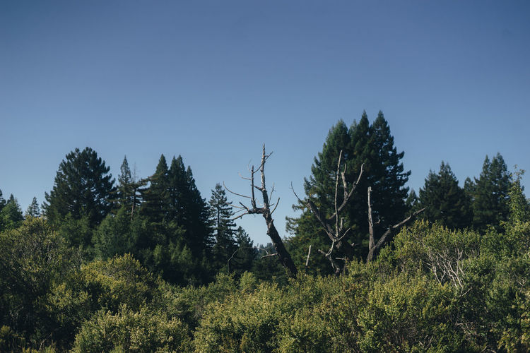 dead tree in a forest Northern California Sky Plant Tree Clear Sky Growth Land Beauty In Nature No People Tranquility Nature Tranquil Scene Environment Blue Forest Day Outdoors Non-urban Scene Landscape Green Color Copy Space Coniferous Tree