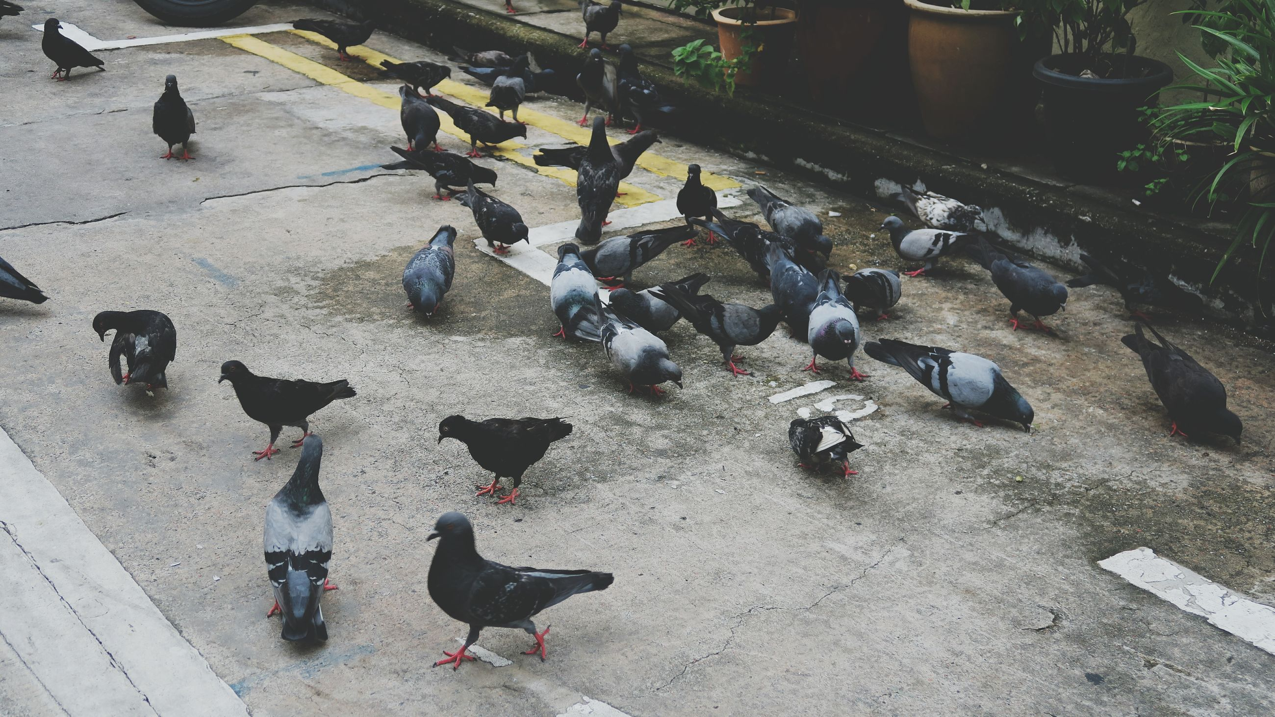 bird, animal themes, pigeon, animals in the wild, wildlife, high angle view, flock of birds, street, day, medium group of animals, outdoors, sunlight, walking, full length, shadow, domestic animals, togetherness, perching, cobblestone