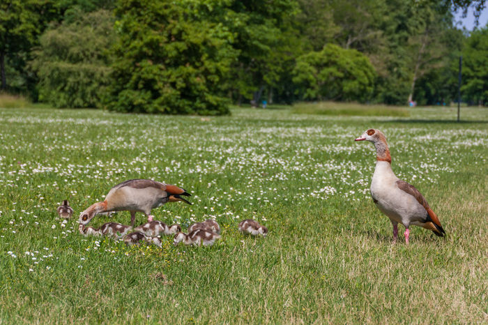 Nilgänse auf der Parkinsel Alopochen Aegyptiaca Animal Animal Family Animal Themes Animal Wildlife Animals In The Wild Bird Birds Day Egyptian Goose Goose Grass Green Color Group Of Animals Nature No People Outdoors