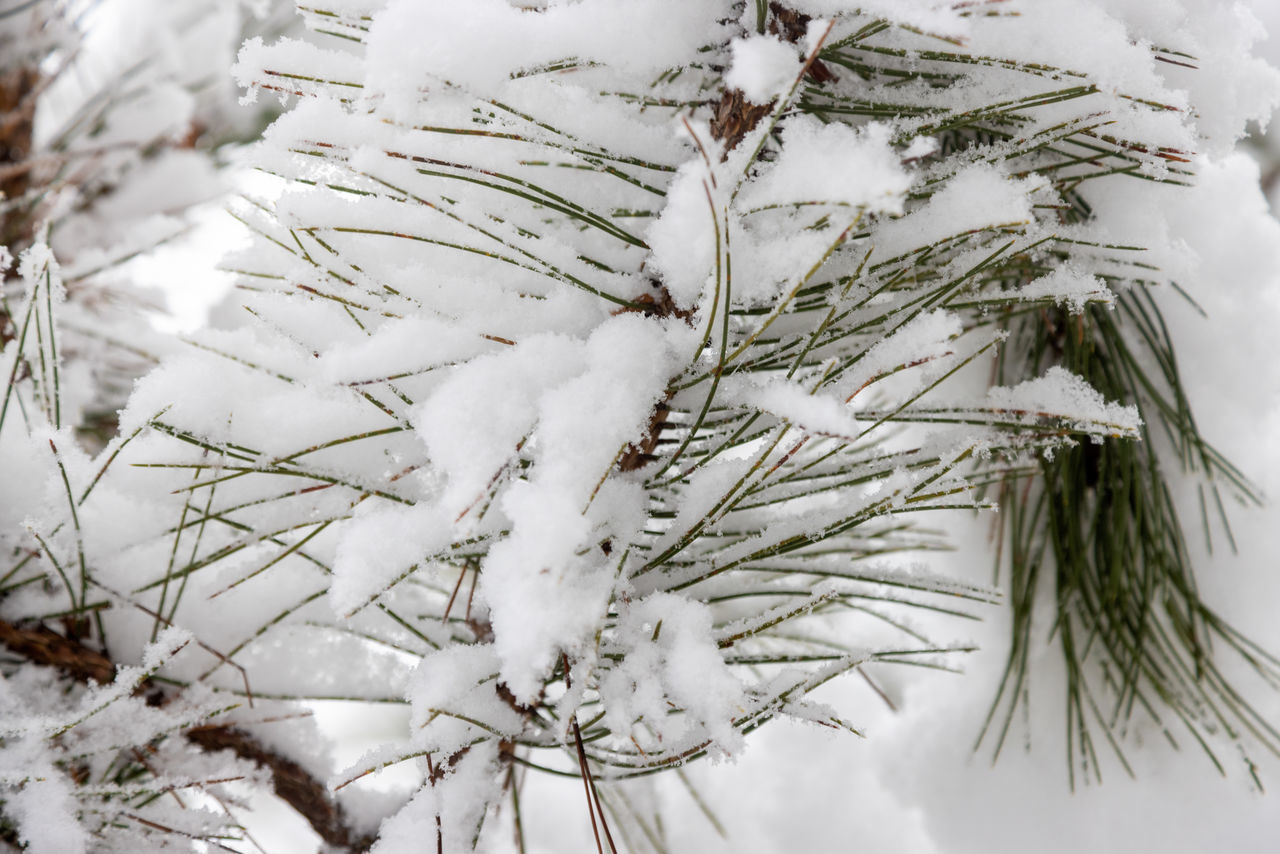 CLOSE-UP OF SNOW COVERED PINE TREE BRANCH DURING WINTER