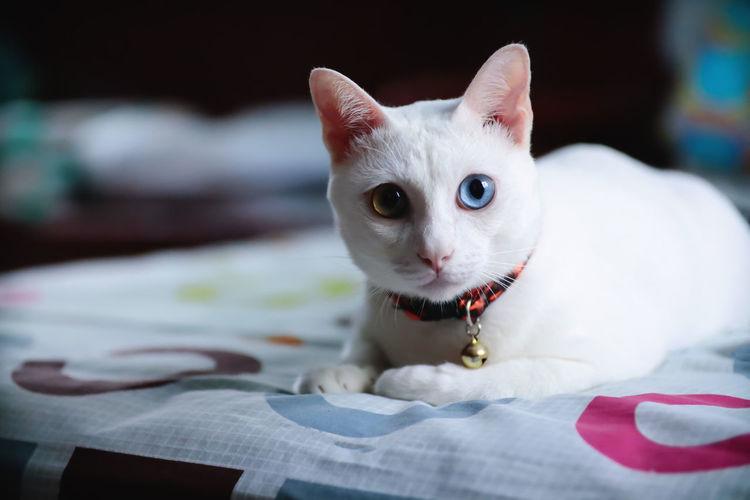 Close-up portrait of a siamese cat