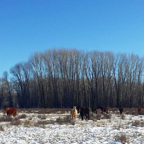 Brrrrrr! Horses Morgans Trwranch Winter Horsesofinstagram Palomino Beautifulhorses Nofilter Nofilterneeded CountryLivinG Farmlife Idaho Idahome Idahogram Onlyinidaho Morganhorse