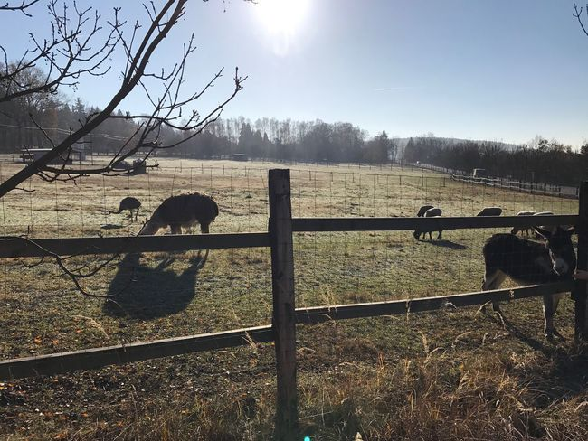 Fence Domestic Animals Animal Themes Sunlight Tree Mammal Protection Paddock No People Safety Sky Livestock Field Bare Tree Grass Grazing Day Nature Outdoors Tranquil Scene Cz Czech Cz Nature My Year My View
