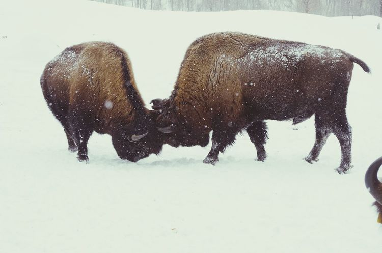 hierarchie entre bisons Winter Bison Bison Group Animals Hierarchy Relation