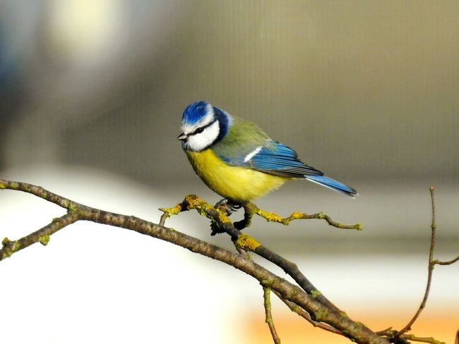 Bird Perching Animal Wildlife One Animal Songbird  Branch Animals In The Wild Nature Full Length Beauty In Nature No People Winter Animal Themes Outdoors Day Photograph Close-up Tree Bluetit Tomtit