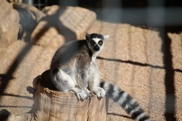 Animal Themes Animals In The Wild Lemur Mammal Nature One Animal Outdoors Safari Animals Wild Animal Wild Park