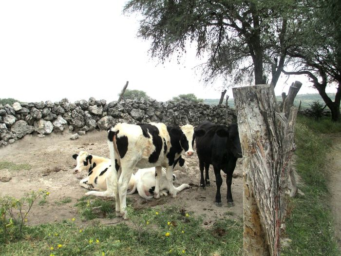 Bulls And Cows Toro Tree Stone Wall Vacas Looking To The Other Side