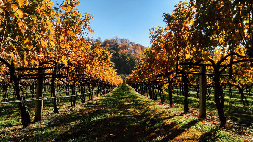 Virginia Foliage Fall Fall Beauty Fall Colors Beauty In Nature No People Shenandoah National Park Virginia Wines Vinyard Wineyard Nature Wine Winery Beautifully Organized Place Of Heart The Traveler - 2018 EyeEm Awards