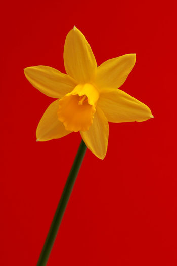 Close-up of yellow flower against red background