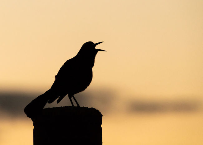 A Great-tailed Grackle sings in the early morning at the Bear River Migratory Bird Refuge in Northern Utah. Animal Animal Themes Animal Wildlife Animals In The Wild Bird Bird Singing Copy Space Focus On Foreground Grackle Great-tailed Grackle Nature No People One Animal Orange Color Outdoors Perched Perching Post Silhouette Sunrise Sunset Wooden Post
