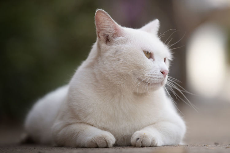 Close up head white cat Pets Domestic One Animal Animal Themes Mammal Animal Domestic Animals Cat Feline Domestic Cat Vertebrate Focus On Foreground White Color Close-up Looking Away Whisker Looking No People Sitting Relaxation