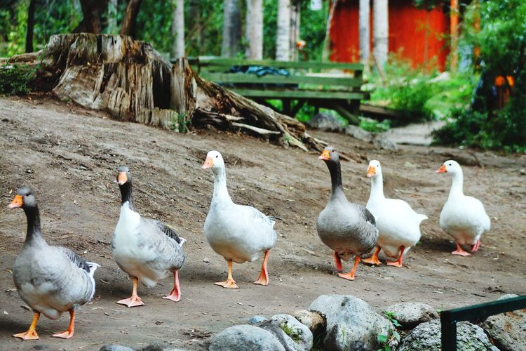 ıhlaravadisi Kapadokya Capadoccia Green Nature Photo Photography İhlara Valley Ducks Duckphotos White